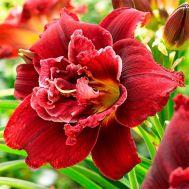 Лілейник Double Red Royal фото