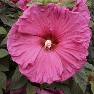 Гібіскус садовий Jazzberry Jam фото