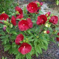 Гібіскус садовий Robert Flemming фото