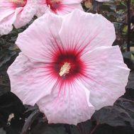 Гібіскус садовий Kopper King фото