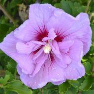 Гібіскус сирійський Lavender Chiffon фото