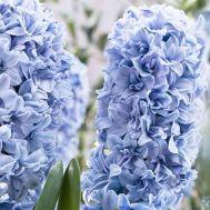 Гіацинт Махровий Blue Tango фото