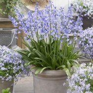 Гіацинтоїдес Hispanica Blue фото