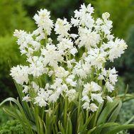 Гіацинтоїдес Hispanica White фото