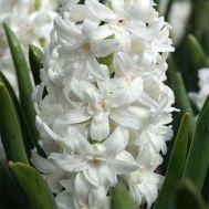 Гіацинт Махровий Snow Crystal фото
