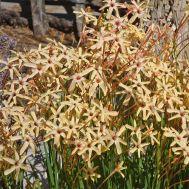 Іксія Paniculata Eos фото