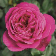 Троянда Johann Wolfgang von Goethe  фото