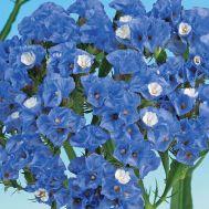 Кермек Блакитна Північ фото