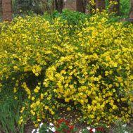 Керія японська Golden Guinea фото