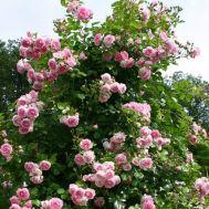 Троянда Jasmina фото