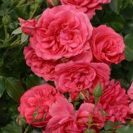 Троянда Rosarium Uetersen фото