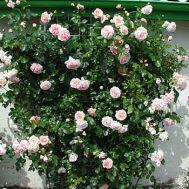 Троянда плетиста Amaretto фото