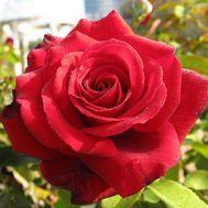 Троянда Duftzauber  фото
