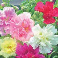 Шток-роза Королівська суміш фото