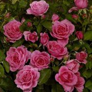 Троянда Lea Renaissance фото