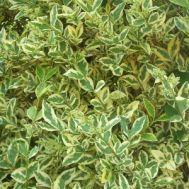 Лігуструм Argenteum фото
