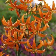 Лілія Orange Marmalade фото