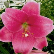 Лілія Pink Heaven фото