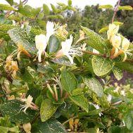 Жимолость японська Aureoreticulata фото