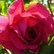 Троянда Fetzer Syrah Rose (Madrigal) фото