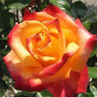 Троянда Mein Munchen фото