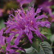 Монарда Balmy Lilac фото