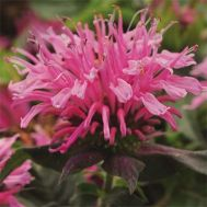 Монарда Balmy Pink фото