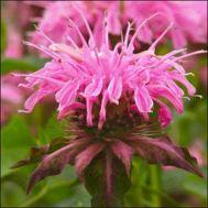 Монарда Croftway Pink фото