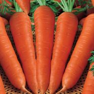 Морква Цідера  фото