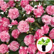 Бальзамін Musica Bicolor Pink фото