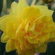 Нарцис Eastertide фото