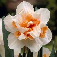 Нарцис Replete фото