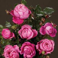 Троянда Natalie фото