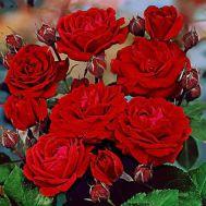 Троянда Nina Weibull фото