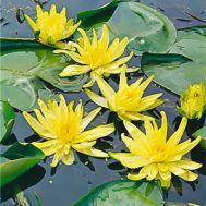 Водяна лілія Sulphurea фото
