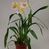 Орхідея Sunset фото