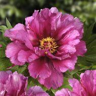 Півонія ITOH Morning Lilac фото