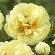 Півонія Lemon Chiffon фото