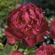 Півонія Red Sarah Bernhardt (Fiona) фото
