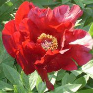 Півонія ITOH Sonoma Velvet Ruby фото