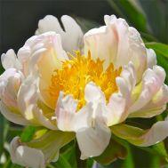 Півонія Green Lotus фото