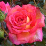Троянда Parfum de Grasse фото