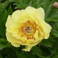 Півонія ITOH Garden Treasure фото