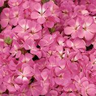 Пеларгонія Multibloom Pink фото