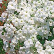 Петунія Лавина F1, біла фото