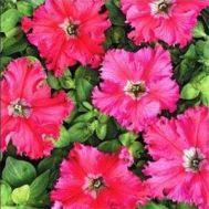 Петунія Афродіта F1, рожева фото