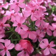 Флокс Early Spring Dark Pink фото