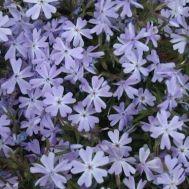 Флокс Early Spring Lavender фото