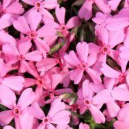 Флокс Early Spring Light Pink фото