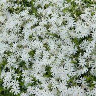 Флокс Early Spring White фото